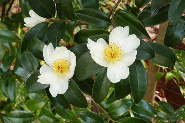 Camellia sinensis The Tea Bush