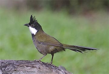 Eastern Whip Bird