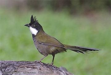 Eastern Whip Bird